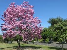 Flowers in Rio de Janeiro city. A beautiful tree, called Ipê in Rio de Janeiro city stock photography