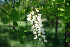 Flowers of Robinia arranged in loose drooping clumps. Flowers of Robinia pseudoacacia arranged in loose drooping clumps Stock Images