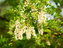 Flowers of robinia. Beautiful false acacia robinia  flowers photographed in spring Royalty Free Stock Photography