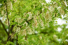 Flowers of robinia. Flowering branch false acacia robinia  photographed in spring Stock Image