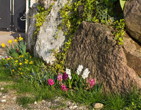 Flowers on the rock. Colored flowers close to rocks Royalty Free Stock Image