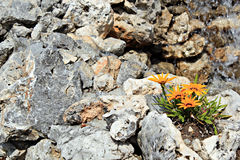 Flowers in the rock Royalty Free Stock Image