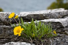 Flowers on the rocks Stock Image
