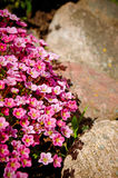 Flowers and rocks Royalty Free Stock Photography