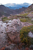 Flowers and Rocks in the Rocky Mountains. Scenic of rocks and flowers on Mt. Evans, CO. with the Rocky Mountains in background Royalty Free Stock Photo