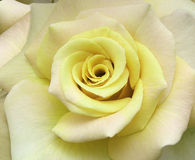 Flowers - Rose. Rose soft pastel yellow royalty free stock image