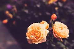 Flowers of rose amber or salmon color in dark toning background. Copy space.  royalty free stock photo