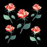 Flowers rose. Picture wollpaper ornament Stock Images
