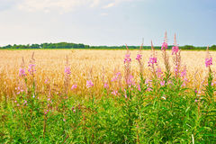 Flowers rosebay willowherb or fireweed. Gold ripe wheat or rye ears against blue sky. Summer sunday. Typical european pastoral Royalty Free Stock Images