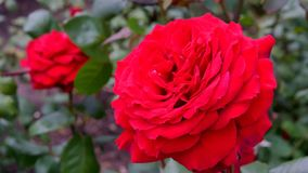 Blooming roses on a sunny summer day Royalty Free Stock Images