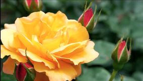 Blooming roses on a sunny summer day Royalty Free Stock Photo