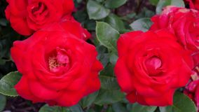 Blooming roses on a sunny summer day Stock Photos