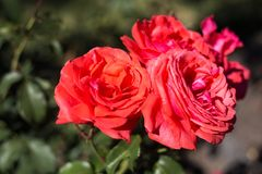 Flowers of roses close to each other. Bouquet of roses on tree Royalty Free Stock Photography