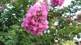 Flowers rozonika. Photos taken in Bulgaria town stock footage