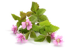Flowers of a Rubus arcticus with leaves Royalty Free Stock Images