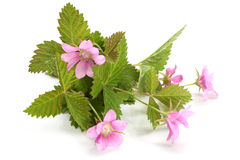 Flowers of a Rubus arcticus with leaves Stock Image