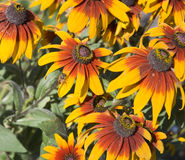 Flowers of rudbeckia. Stock Photos