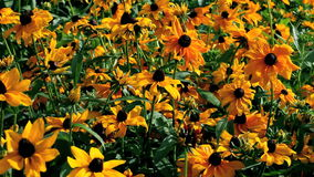 Flowers  rudbeckia stock footage