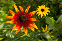 Flowers of Rudbeckia. Royalty Free Stock Photo