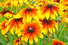 Flowers rudbeckia Stock Photos