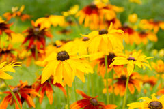 Flowers rudbeckia Royalty Free Stock Photo