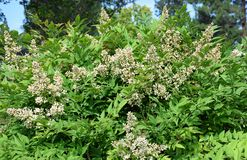Flowers of Sacred Bamboo or Nandina domestica. Nandina domestica, commonly known as nandina, heavenly bamboo or sacred bamboo, is a species of flowering plant stock images