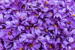 Flowers of saffron after collection Stock Photo