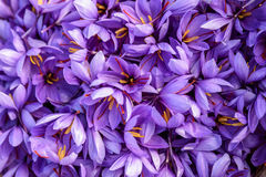 Flowers of saffron after collection Royalty Free Stock Photos