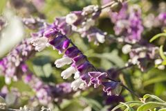 Flowers of sage stock image