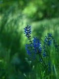 Flowers Sage Stock Photos