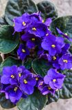 Flowers of Saintpaulia African Violet house plant stock photo