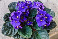 Flowers of Saintpaulia African Violet house plant royalty free stock image