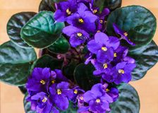 Flowers of Saintpaulia African Violet house plant stock photography