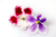 Flowers of  Saintpaulia ( violet ) Royalty Free Stock Photo