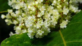 Flowers on Sakhalin knotweed or Reynoutria sachalinensis close-up with bokeh background, selective focus, shallow DOF.  royalty free stock photo