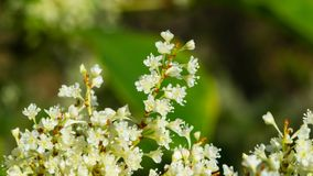 Flowers on Sakhalin knotweed or Reynoutria sachalinensis close-up with bokeh background, selective focus, shallow DOF.  stock image