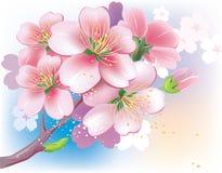 Flowers of sakura Stock Photography