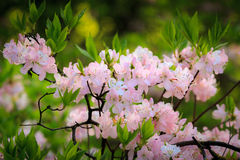 Flowers of sakura. Flowering Sakura bush. Pink, white flowers, green leaves and light brown branches Royalty Free Stock Photo