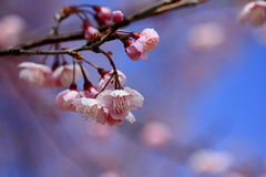 Flowers - Sakura I. Sakura first appeared in the Himalayas traces the Tang dynasty, which gradually introduced species in northern India, China Yangtze River Royalty Free Stock Photography