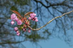 Flowers sakura spring pink blossoms royalty free stock photography