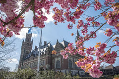 Flowers sakura spring pink blossoms. Cherry flowers or Sakura spring pink blossoms against the Peace Palace, seat of the International Court of Justice, ICJ, The Royalty Free Stock Photography