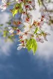 Flowers sakura spring pink blossoms royalty free stock image