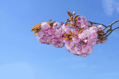 Flowers sakura spring pink blossoms stock images