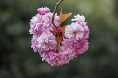 Flowers sakura spring pink blossoms stock photography