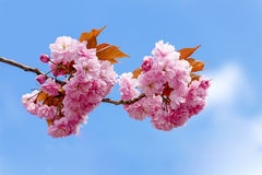Flowers sakura spring pink blossoms Royalty Free Stock Photography
