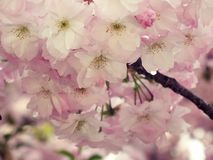 Flowers, sakura Royalty Free Stock Photos