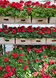 Flowers for sale. Red pelargonium or geranium flowers displayed for a sale at market or garden centre Stock Photography