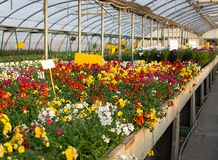 Flowers for sale in the greenhouse in spring Royalty Free Stock Photo