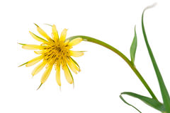 Flowers salsify isolated on white. Tragopogon dubius Stock Photography