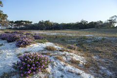 Flowers on a sandy dune. Royalty Free Stock Images